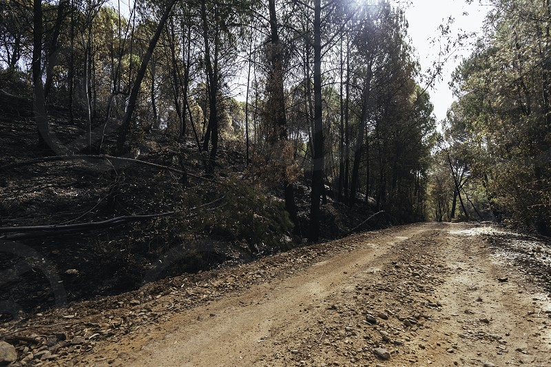 Dirt road between the forest from low angle with eucalyptus burned by the fire on the sides photo