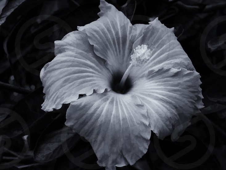 grayscale photography of Hibiscus flower photo
