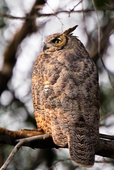 Great horned owl in morning light photo