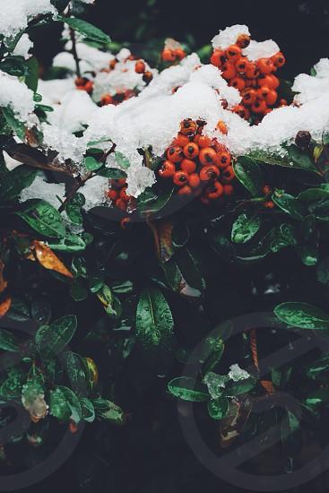 orange berries photo