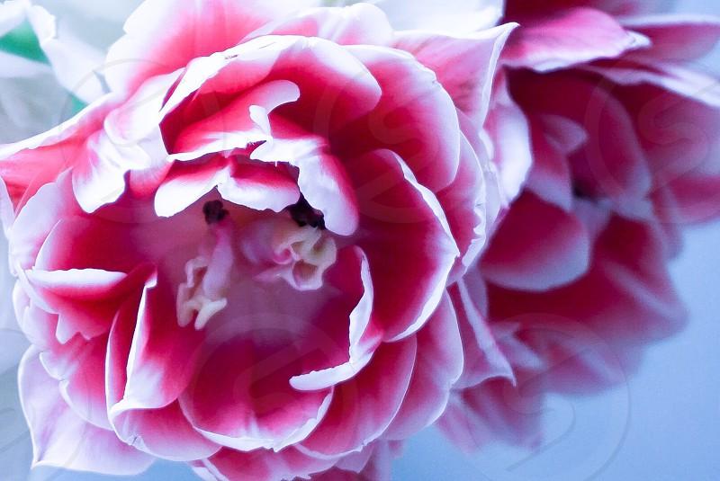 Fresh flowers pink photo