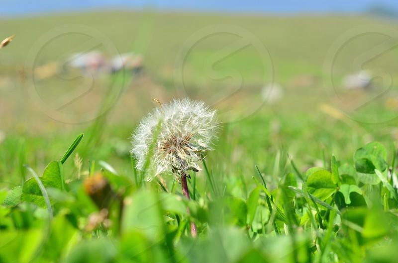 Horseflower photo
