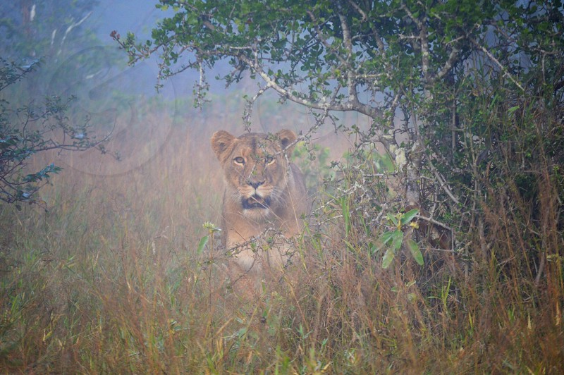 brown lioness beside tree during daytime photo