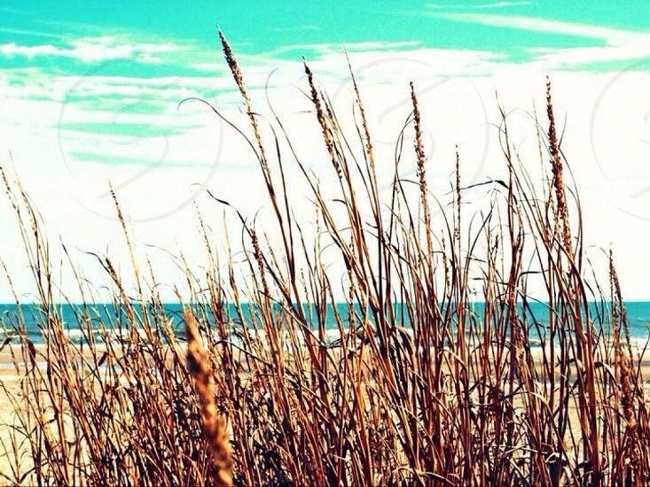 Tall Grass at beach photo