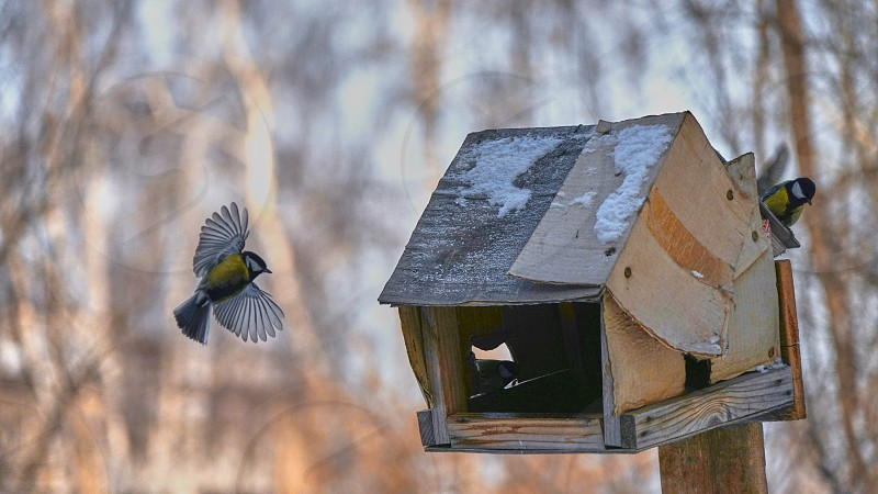 Tomtit is flying. Birds. Winter Siberia. Russia.                  photo