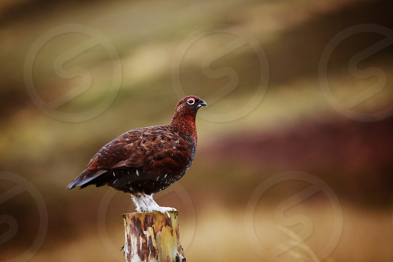 Red Grouse Scotland photo