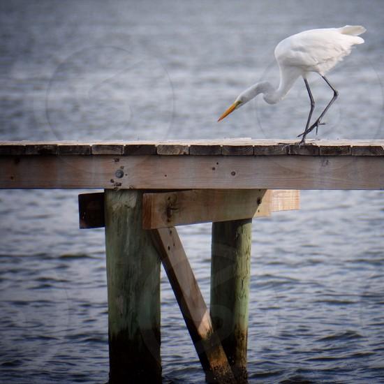 White crane on the wood pier photo