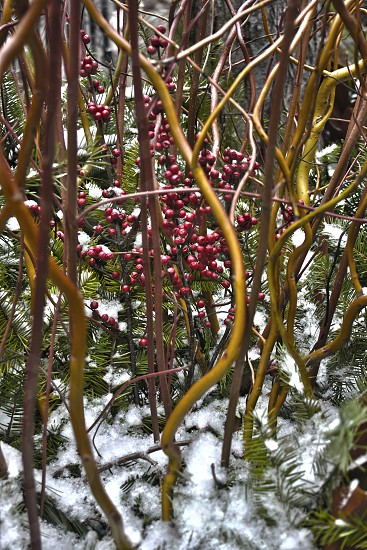 Christmas scene of red berries amongst intertwined stems and pine needles in snow. photo