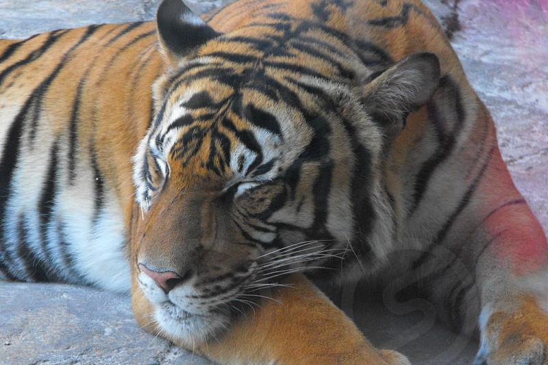 Sleeping Tiger Jacksonville Zoo photo