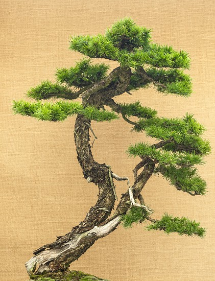 Elegant Japanese bonsai placed on an antique yellow fabric background photo