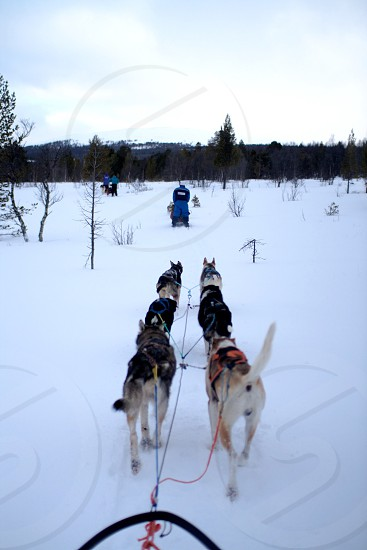short coated dog litter pulling snow sled during daytime photo