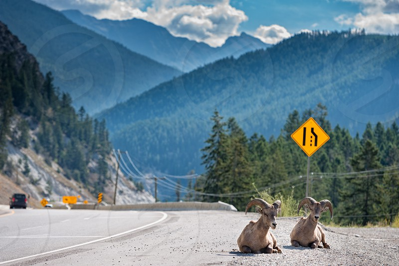 Big horns sheep ram looking at you while driving  Yoho Park highway in Canada photo