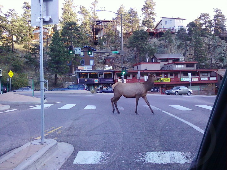 Evergreen elk are so well mannered. photo