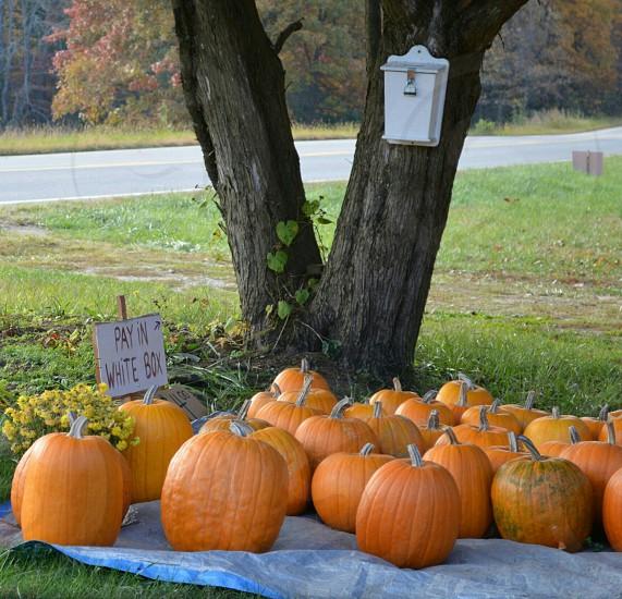 orange pumpkins under tree photo