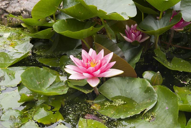 Lotus blossoming photo