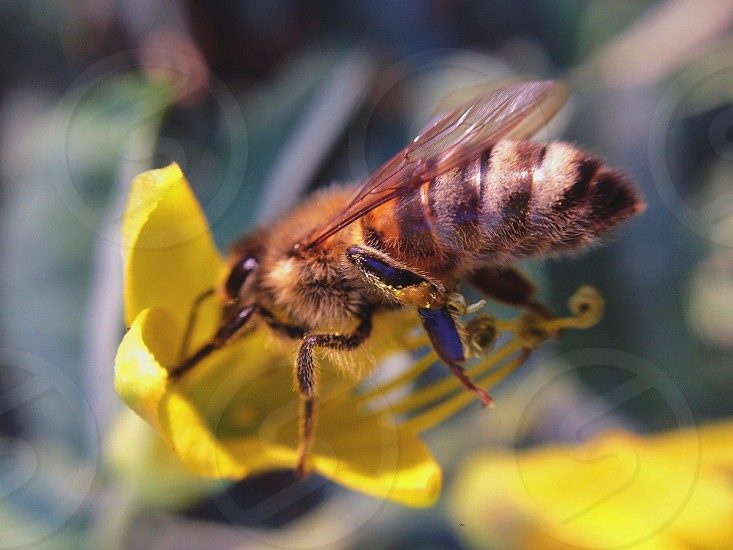 black and yellow honeybee on yellow flower photo