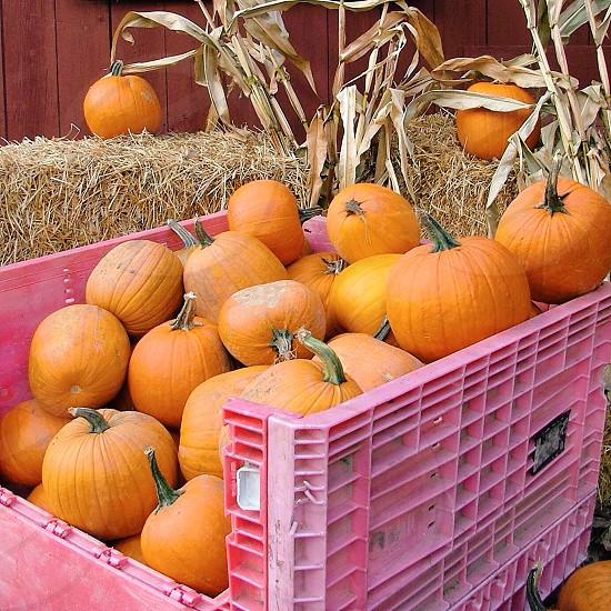 yellow pumpkin photo