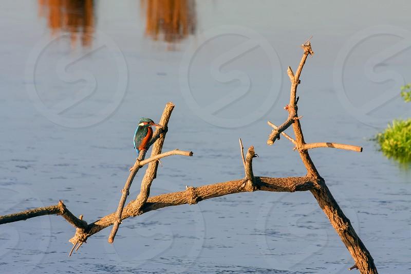 Kingfisher (Alcedo atthis) at Rainham Marshes photo