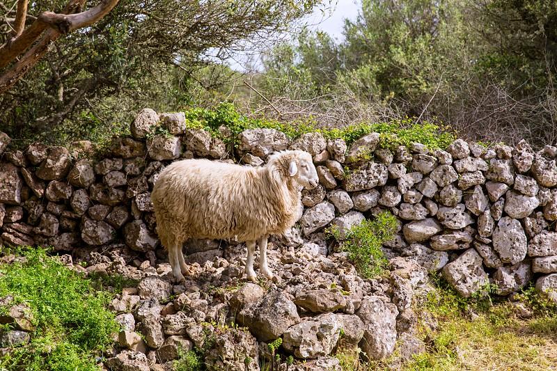lamb sheep in mediterranean landscape at Menorca Balearic islands photo