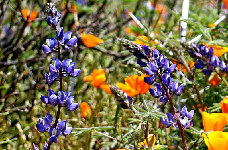 Purple lupine flowers and golden poppies grown wild in a super bloom photo
