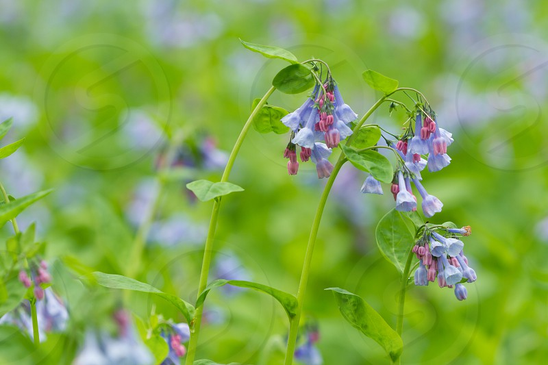 A field of Virginia bluebell wildflowers photo