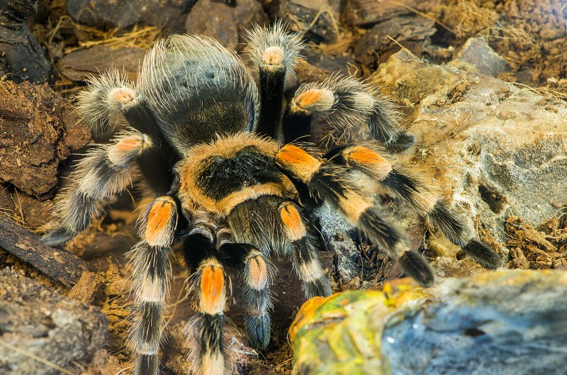 Tarantula spider in nature. Close up macro shot photo