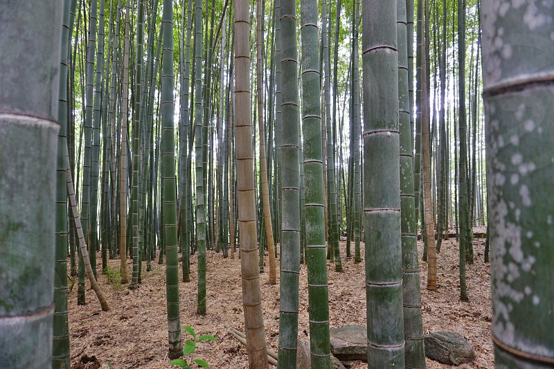 Inspiration in a tall bamboo forest in Kyoto Japan photo