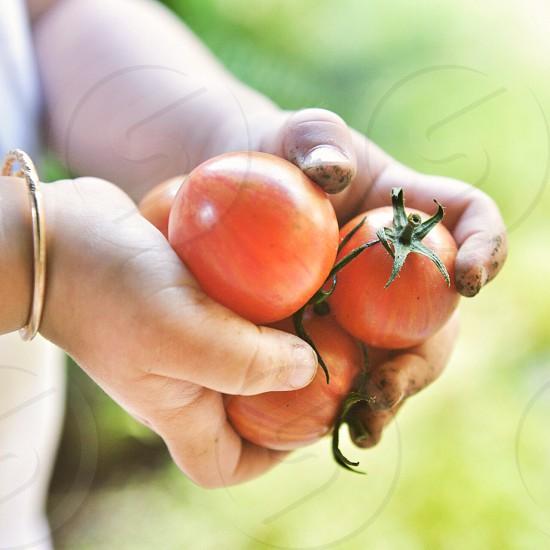 Tomato dirt hands farm  photo