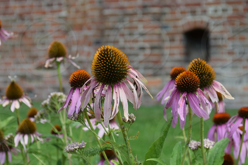 Echinacea Garden flower flora herb herbal medicinal photo