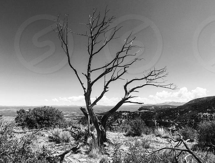 Desert dead tree southwest views black and white  photo