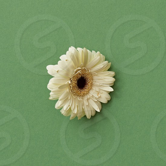One white gerbera flower isolated on a green background. Blooming concept. Flat lay. photo