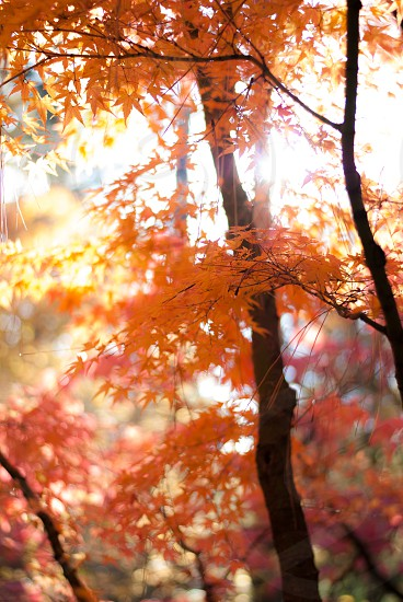 Tree with beautiful fall color and sunlight shining through photo