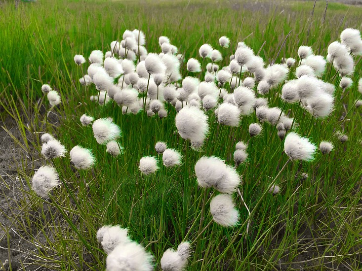 Wish grass tundra cotton summer  photo