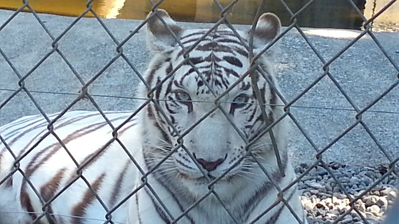 the moment a white tiger looked me in the eye photo
