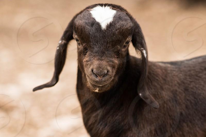 Pet portrait goat farm brown photo