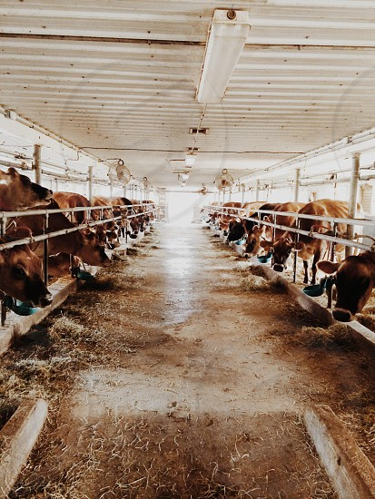 Cow Farm photo