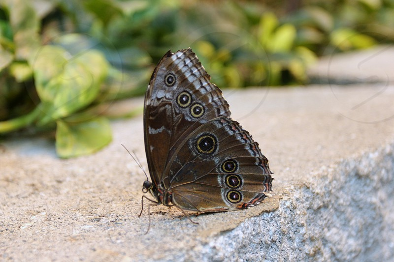 Brown and blue butterfly on stone wall photo