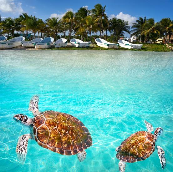 Mahahual Caribbean beach turtle photomount in Costa Maya of Mexico photo