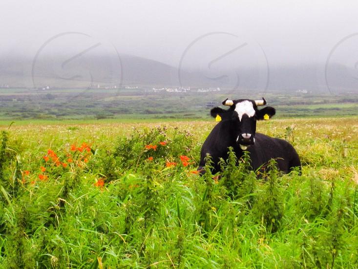 Irish cow.  photo
