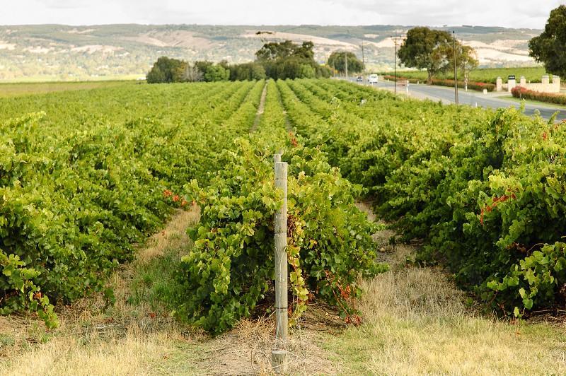 Vineyard in the Adelaide region Australia  photo