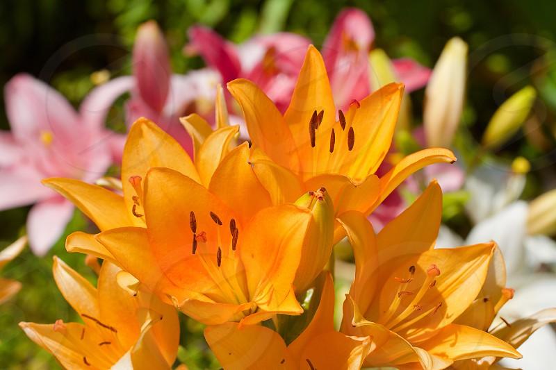 Yellow lilys photo