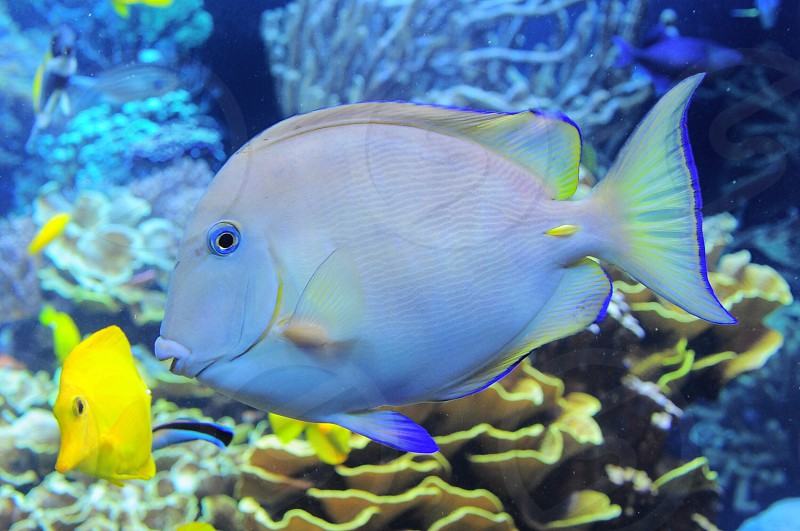 white and blue tang fish in water photo