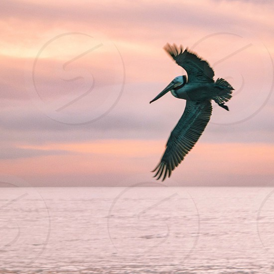 gray pelican flying over sea at daytime photo
