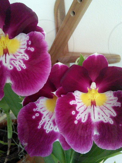 Purple white and yellow Miltonia orchid blossom photo