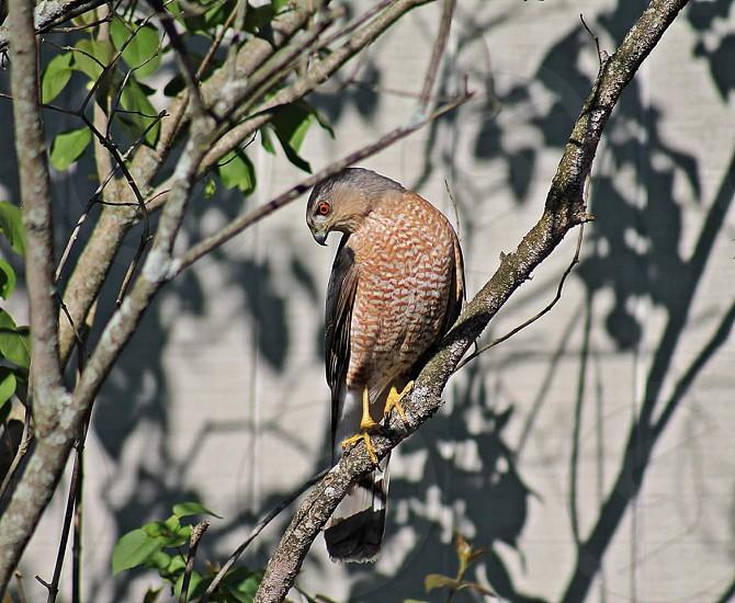 #Birds of Prey #Birds #Hawk #Nature #Fly photo