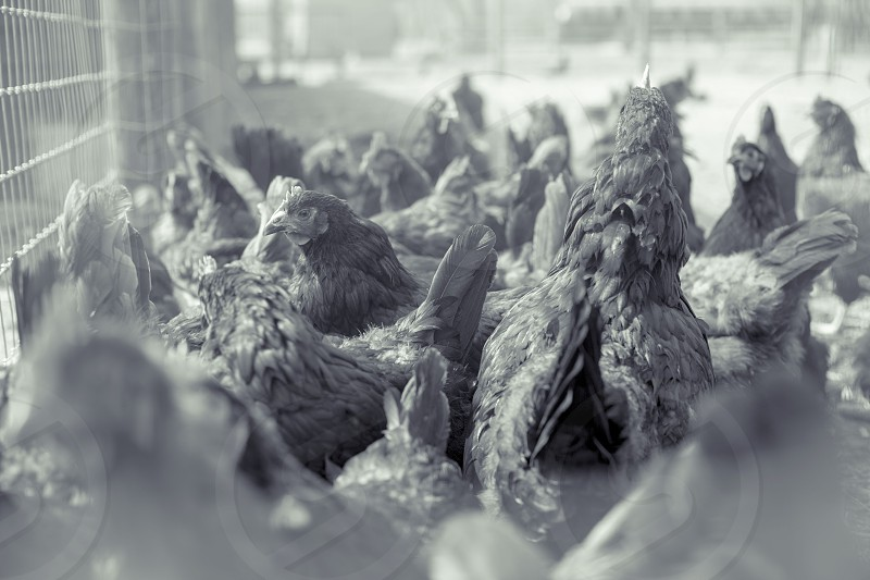 Chicken Coup. photo