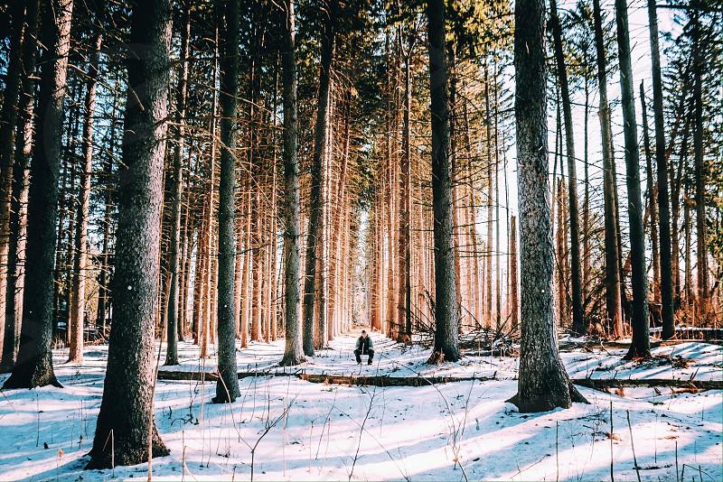 Winter pine grove  photo