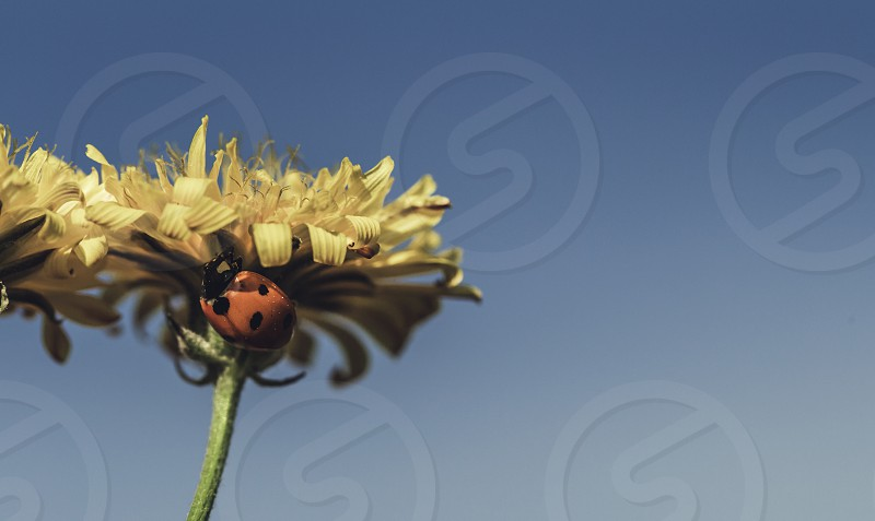 Ladybird on a sunny yellow daisy flower low angle view blue background photo