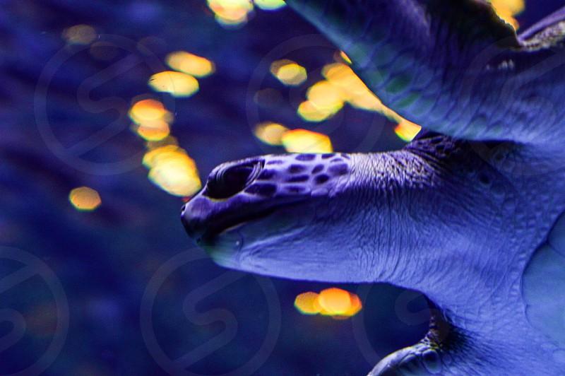 Sea turtle turtle sea creatures ocean creatures marina underwater water photo