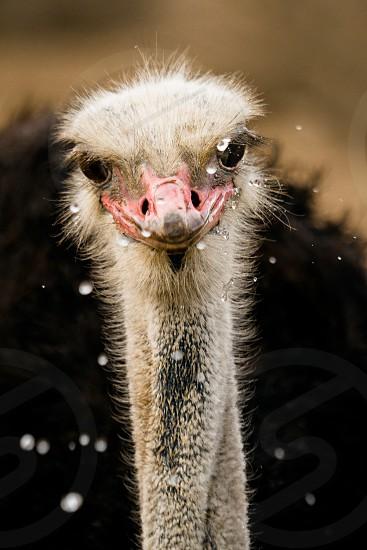 An Ostrich taking a drink photo